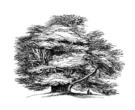 yew: Victorian engraving of the Ankerwyke Yew.  Digitally restored image from a mid-19th century Encyclopaedia.