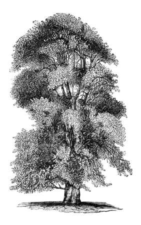 lime tree: 19th century engraving of a lime tree