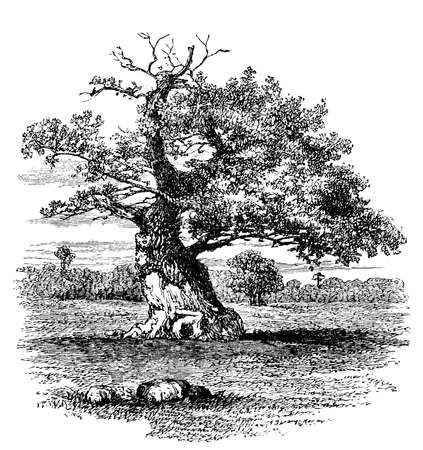 19th century engraving of an old oak tree 스톡 콘텐츠