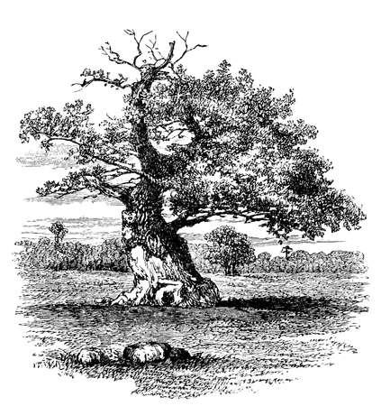 19th century engraving of an old oak tree Standard-Bild