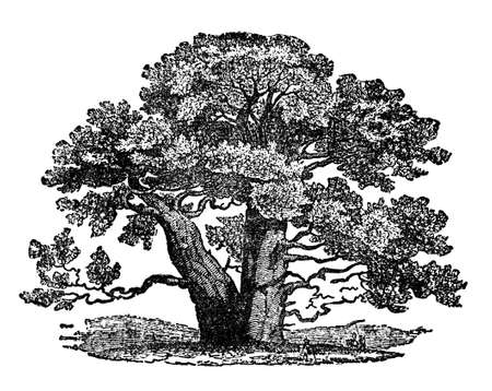 Victorian engraving of a baobab tree. Digitally restored image from a mid-19th century Encyclopaedia. Banco de Imagens