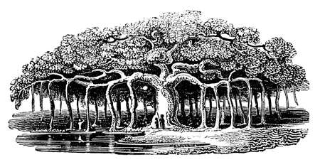 Victorian engraving of a banyan tree. Digitally restored image from a mid-19th century Encyclopaedia.