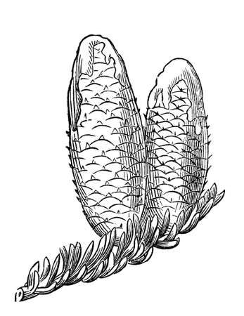 winter tree: Victorian engraving of balsam tree cones. Digitally restored image from a mid-19th century Encyclopaedia. Stock Photo