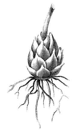 raices de plantas: Grabado victoriana de un cono de pino. Imagen digitalmente restaurada de una enciclopedia mediados del siglo 19.
