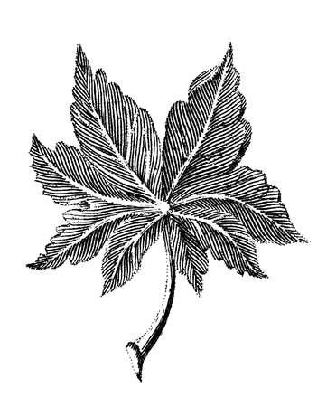 Victorian engraving of a leaf. Digitally restored image from a mid-19th century Encyclopaedia.
