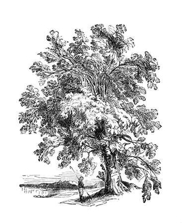 Victorian engraving of a soursop tree. Digitally restored image from a mid-19th century Encyclopaedia. Фото со стока