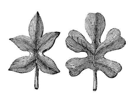 restored: Victorian engraving of two leaves. Digitally restored image from a mid-19th century Encyclopaedia.