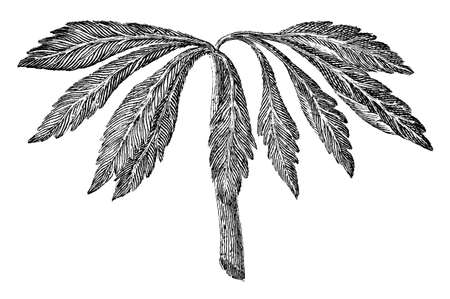 frond: Victorian engraving of a leafy frond. Digitally restored image from a mid-19th century Encyclopaedia.