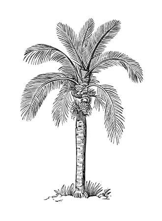 19th: 19th century engraving of a wax palm tree