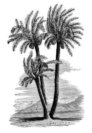 date palm: 19th century engraving of paml trees Stock Photo