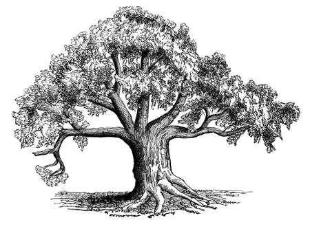 Victoriaanse gravure van een baobab boom