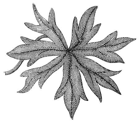 19th: 19th century engraving of a leaf