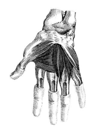 human anatomy: Victorian engraving of the muscles of the human hand. Digitally restored image from a mid-19th century Encyclopaedia. Stock Photo