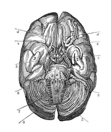 인간 두뇌의 19 세기 해부학 판화