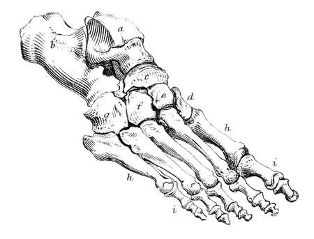 19th century anatomical engraving of a human foot