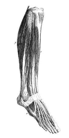 human leg: 19th century anatomical engraving of a human leg