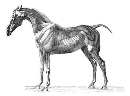 19th century engraving of muscles of the horse