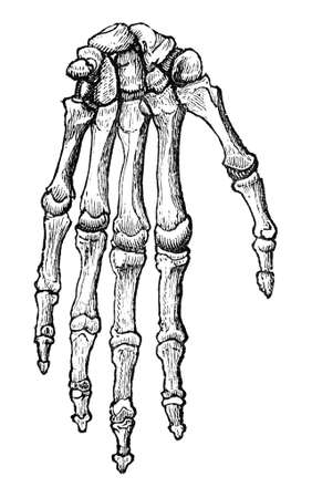 anatomy of the finger: 19th century engraving bones of human hand