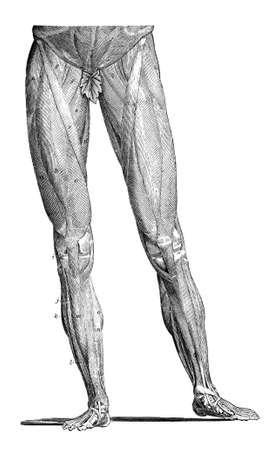 human leg: 19th century engraving of human leg muscles