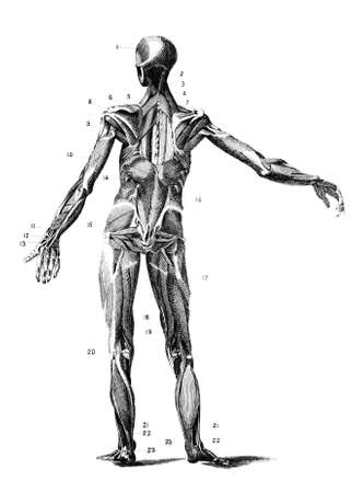 human anatomy: 19th century anatomical engraving of the human body muscles