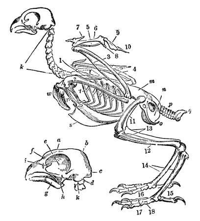 Victoriaanse gravure van een skelet van een vogel. beeld digitaal hersteld van een midden van de 19e eeuw Encyclopedie.
