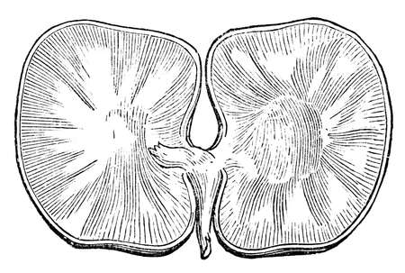 plant seed: Victorian engraving of a disected plant seed. Digitally restored image from a mid-19th century Encyclopaedia.