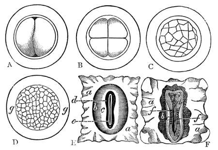 Victorian engraving of a developing embryo. Digitally restored image from a mid-19th century Encyclopaedia.