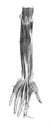 restored: Victorian engraving of the muscles of the human arm. Digitally restored image from a mid-19th century Encyclopaedia.