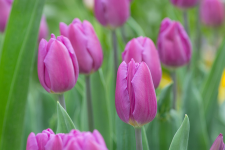 Tulip of lilac color in a horizontal format