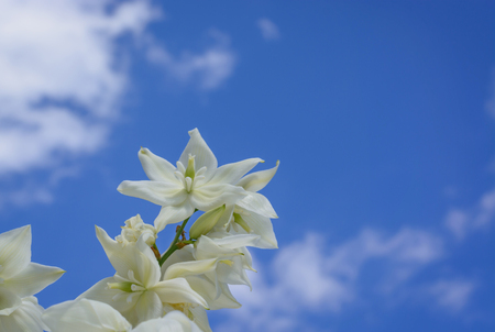 Flowers Yucca against the background of the sky