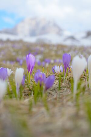 Violet crocus against the background of an indistinct landscape
