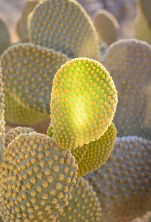 Part of the prickly pear lit by the sun