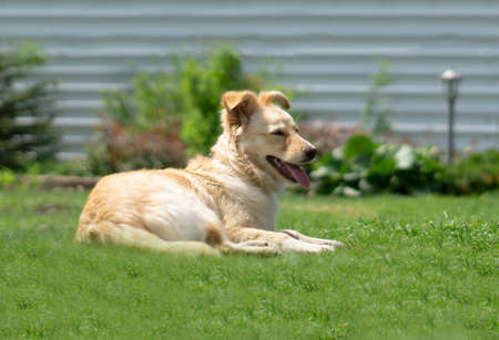 Dog closeup on a lawn with green grass