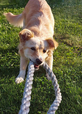 The dog holds the rope with his teeth and pulls himself