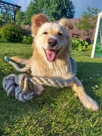 The dog lies on the grass entangled in a rope