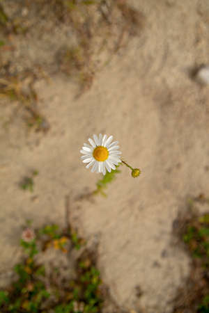 Lonely daisy top view. blurred background