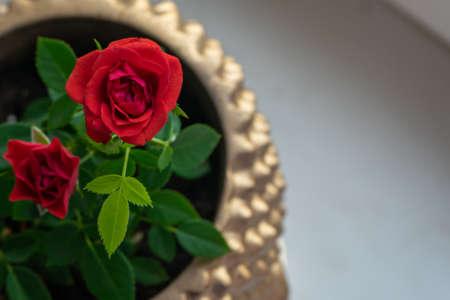 Top view of red rose in golden pot Imagens