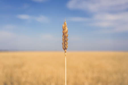 Lone wheat ripe ear over yellow wheat field against blue sky in summertime Imagens