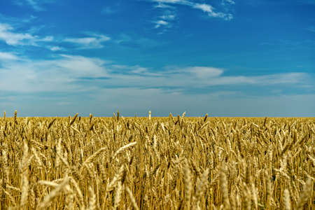 Golden wheat field divided by blue sky