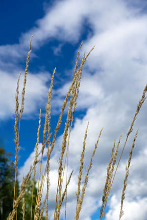 spikelets of grass against the sky