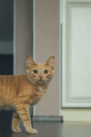 beautiful ginger cat with big eyes looks at the camera in the living room