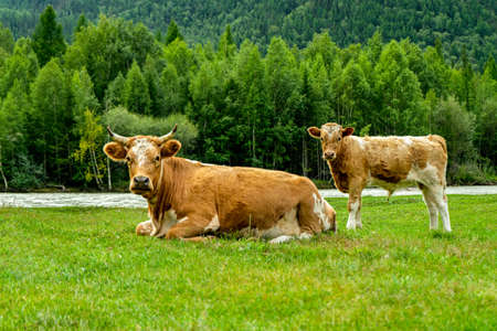 Brown cow with a calf lie on green grass near the forest by the river