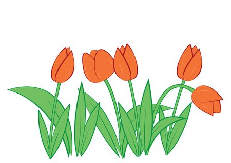 Tulips on white background. Vector illustration. Stock Vector - 12175595