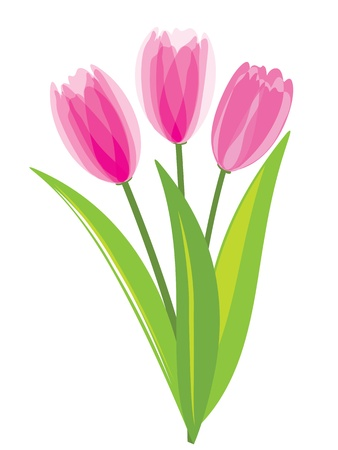 Pink tulips isolated on white background. Vector illustration.