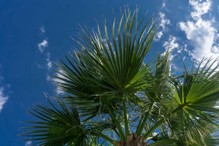 View of the sky through the leaves of a tropical palm tree Blue sky. Blue sky with small white clouds. Open space.