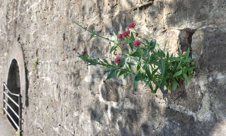 The gray wall of the old castle with a small window with a lattice. Tender pink flowers on green stems grow on a stone wall. Wildlife power concept