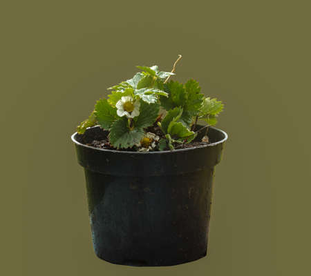 Blooming seedlings of garden strawberries in a dark peat pot on an isolated background.