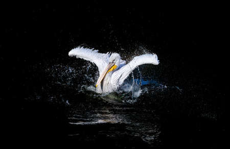 water wings: Big white pelican with flapping wings and blue drops swimming in black water of dark ocean, wildlife Stock Photo