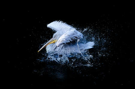 flapping: Big white pelican with flapping wings and blue drops swimming in black water of dark ocean, wildlife Stock Photo