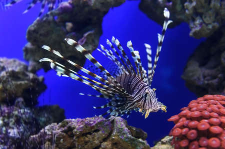 sealife: Lionfish with striped pattern on body swims near stones and coral reef underwater, sealife, selective focus
